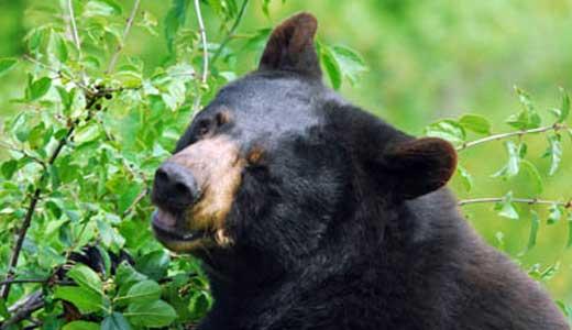 black-bear-alaskachallengegusdeservice