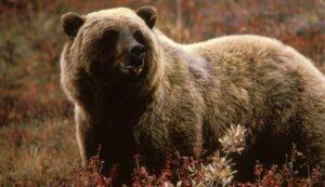 grizzly-bear-alaskachallengegusdeservice