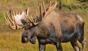 moose-alaskachallengegusdeservice