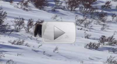 video-acgs-tn-bear-bow-kill